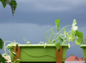 Kapuzinerkresse wartet auf das nächste Gewitter.