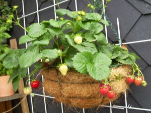 Immertragende hängende Erdbeeren.