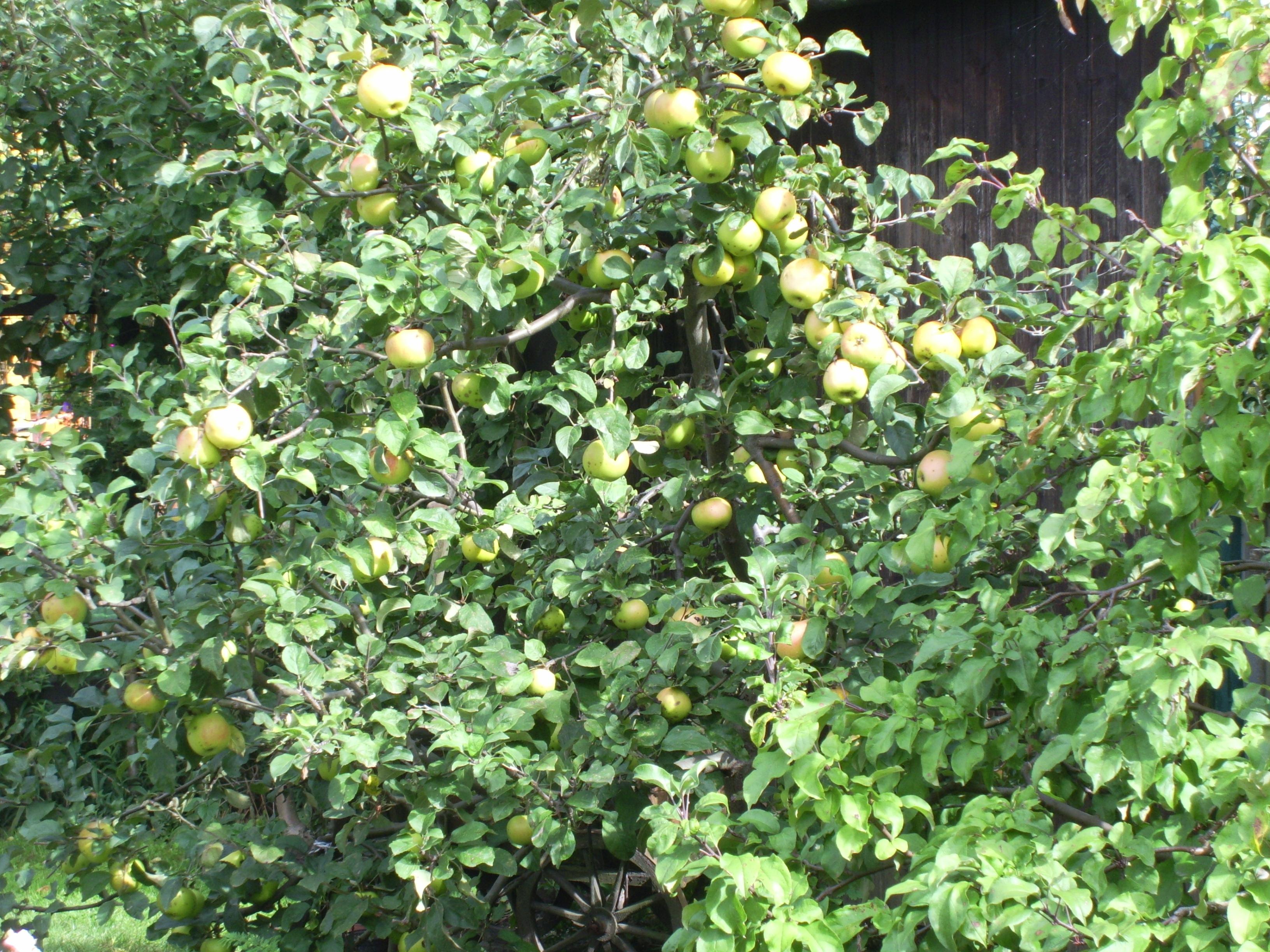 Apfelbaum im Museumsgarten