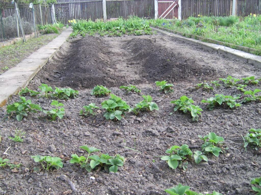 Kartoffelacker und Erdbeeren davor und dahinter