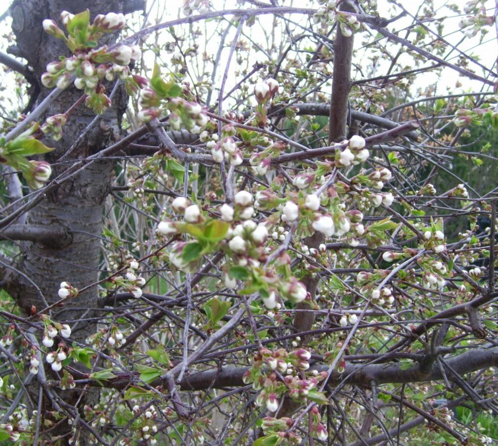 Kirschblüten kurz vorm Aufblühen