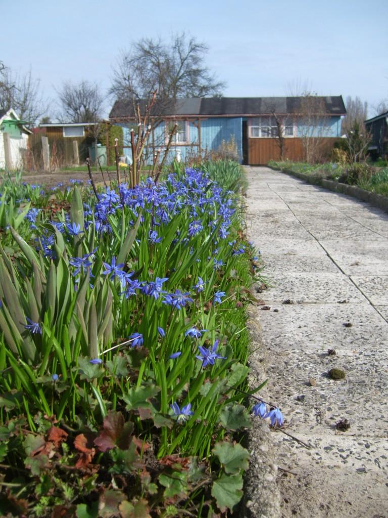 Blaustern, Zilla, Scilla - diese Blume hat viele Namen