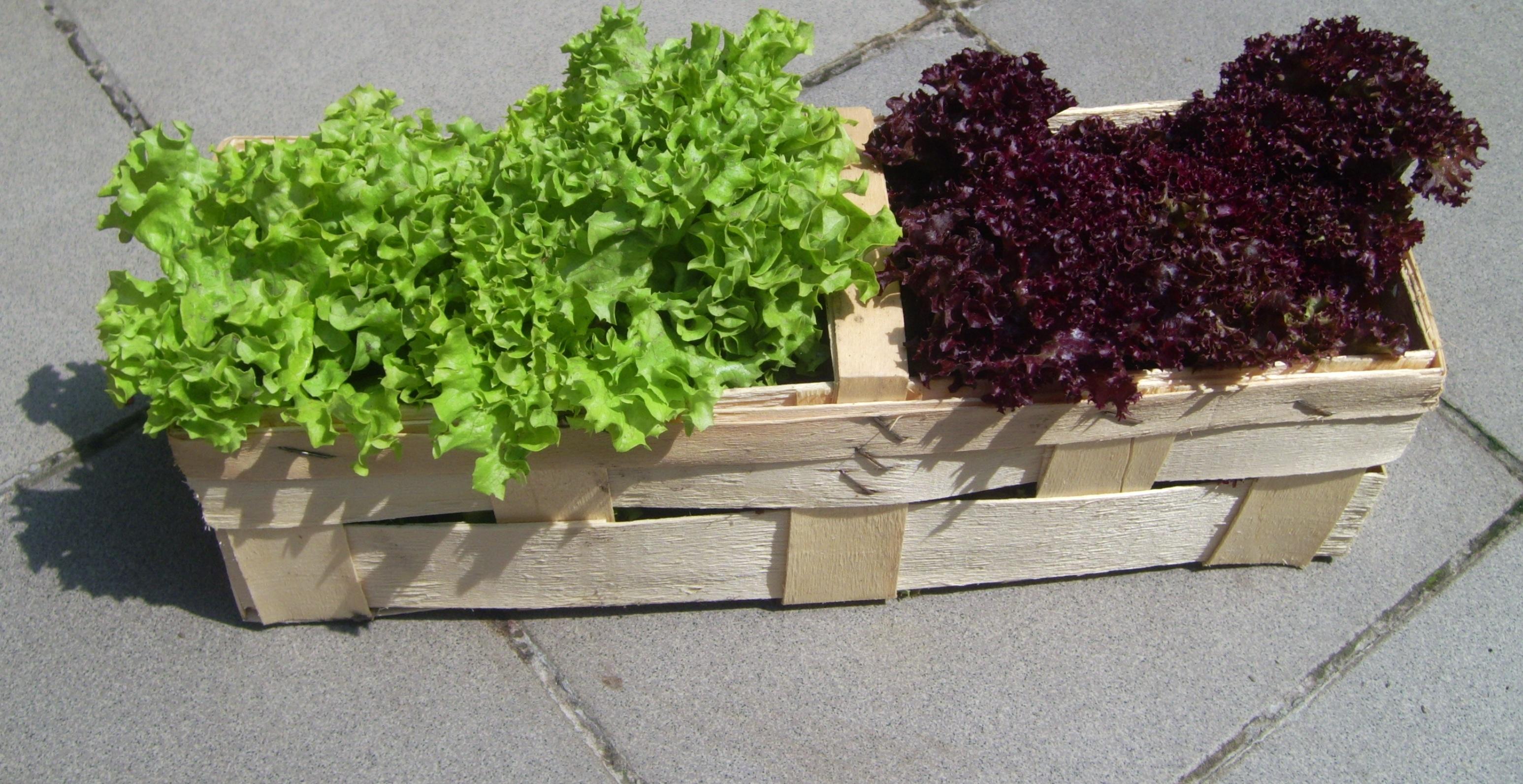 Pflücksalat aus dem Garten