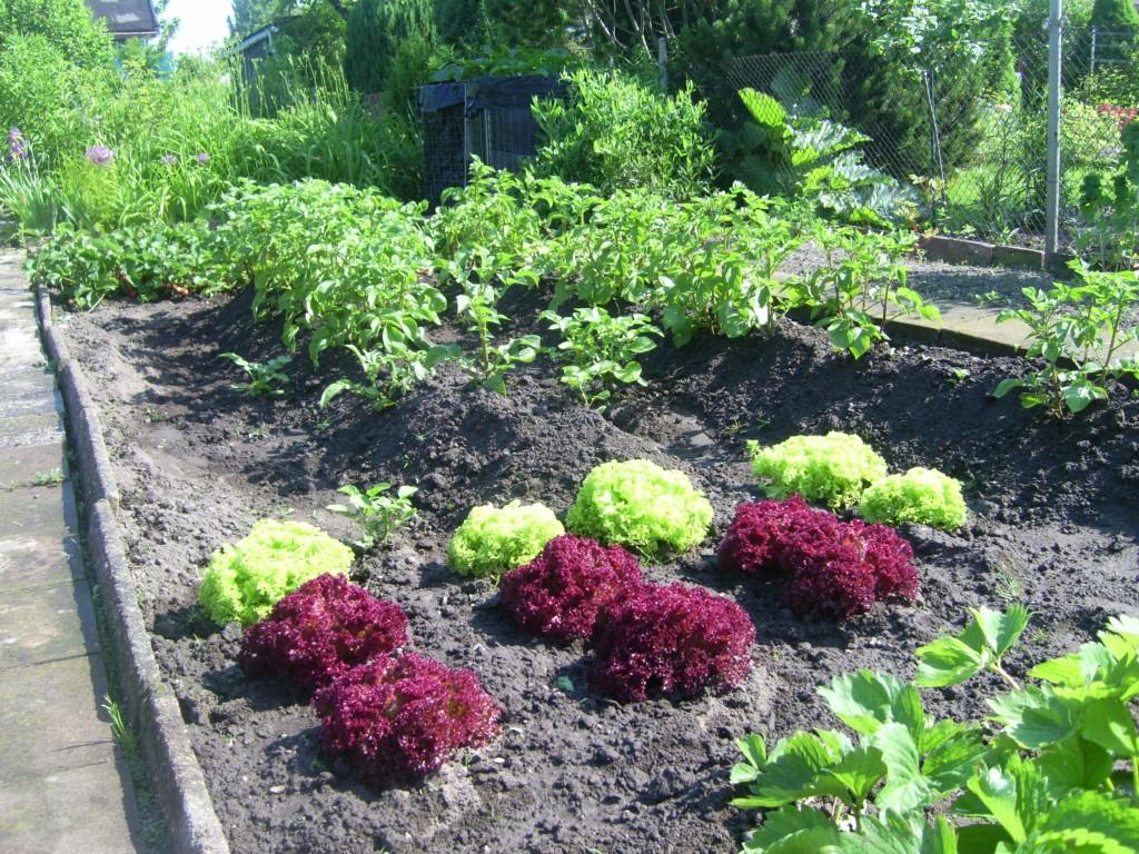 Gemüsebeet Salat und Kartoffeln