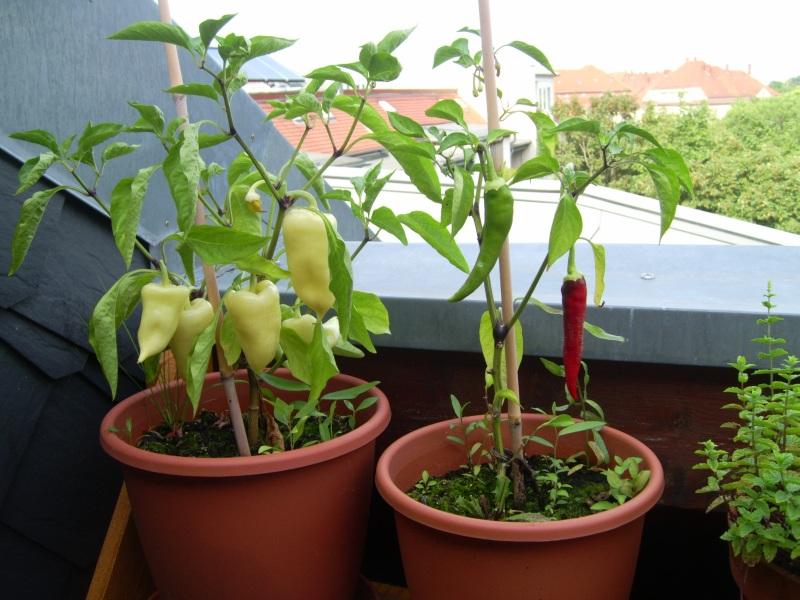 Paprika und Chili auf dem Balkon