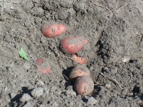 Kartoffeln vorsichtig freilegen