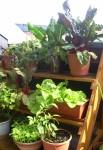 Gemüseregal auf dem Balkon