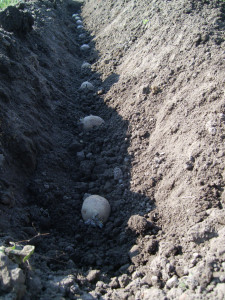 Kartoffeln in der Furche