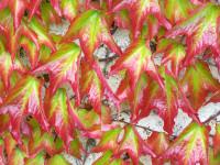 Weinblätter in leichter Rotfärbung