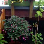 Fuchsienstämmchen und Minipetunien
